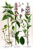 Bétonica officinalis